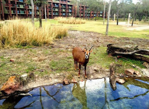 resorts opening for 2021 vacation packages Disney Animal-Kingdom-Lodge-Animals